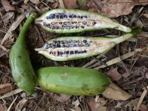 musa-forest-banana-72